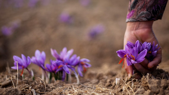 Changing Weather Leads To Decline In Saffron Yield  In Kashmir